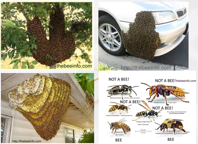 Honey Bee Removal: How...