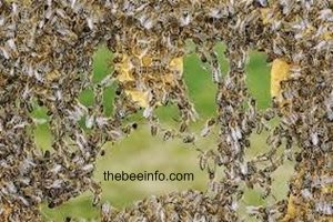 Honey Bee Colony Structure - What They Do In The Hive?