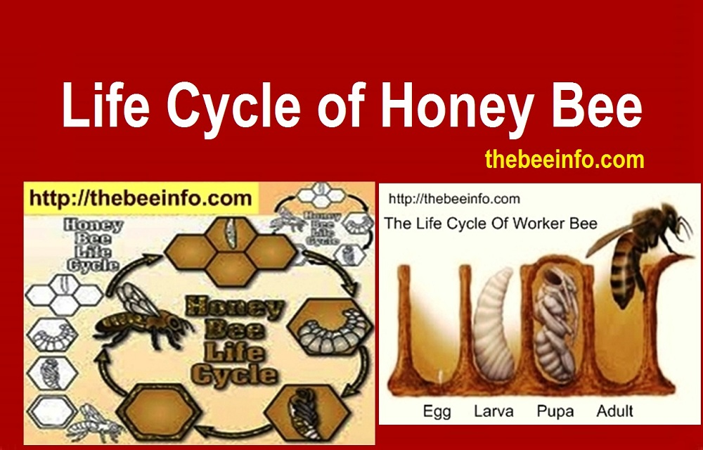 130: Lifespan of a Bee: Life Cycle of Honey Bee Diagram.