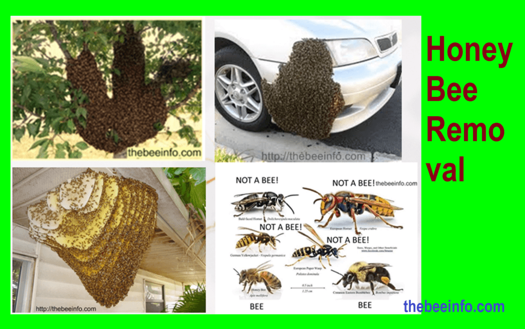Honey Bee Removal: How Much Does Wasps & Bee Hive Removal Cost? (143)