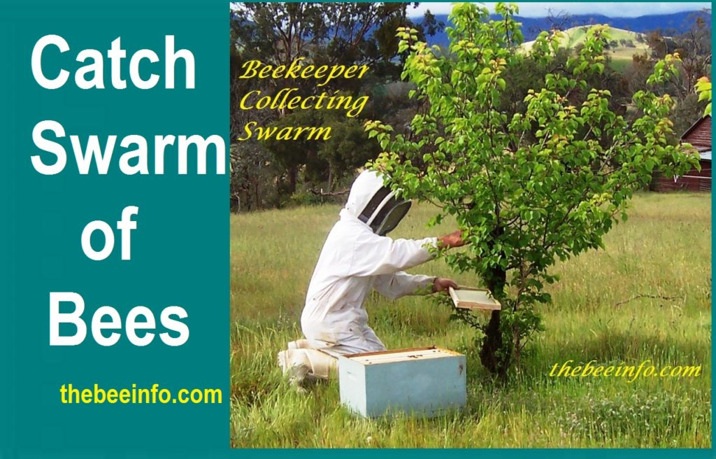 Bee Swarm: How To Catch Swarm Of Bees And Install In A Beehive. (149)