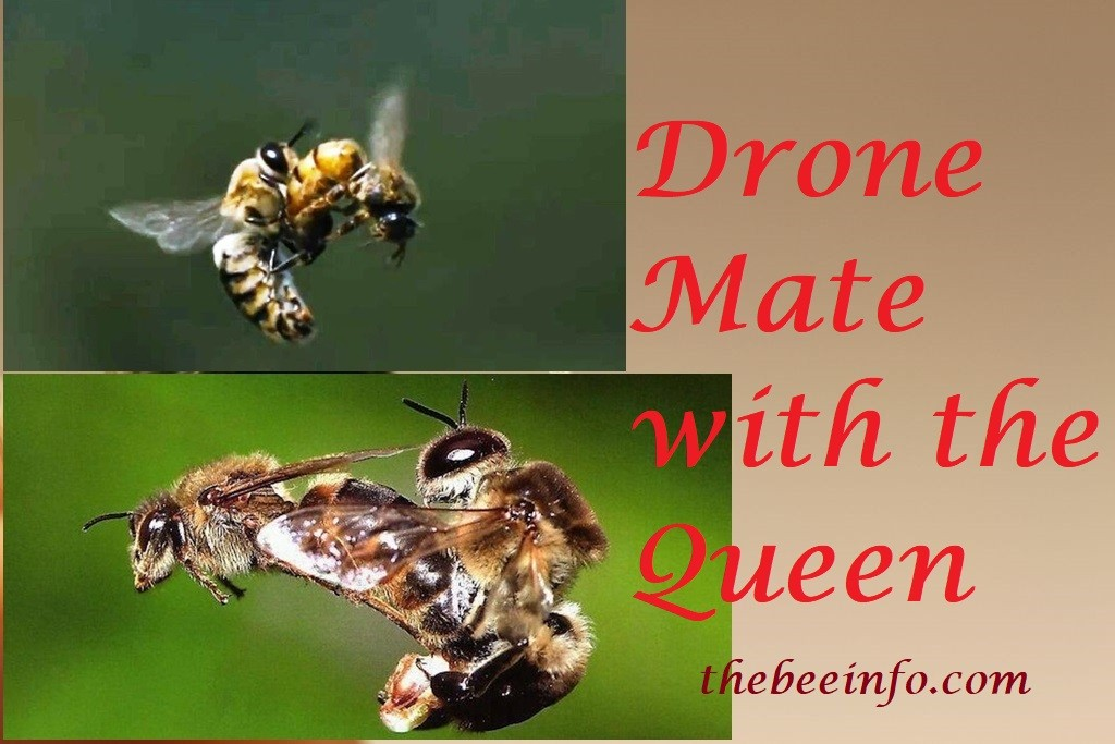 Drone Bee: A Male or Drone Mate with the Queen Only One Time in Entire Life! (153)