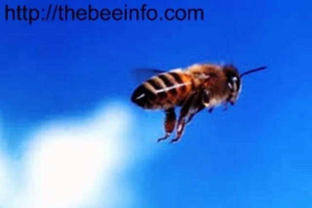 Bee Facts: 10 Honey Bee Facts for Kids! (161)