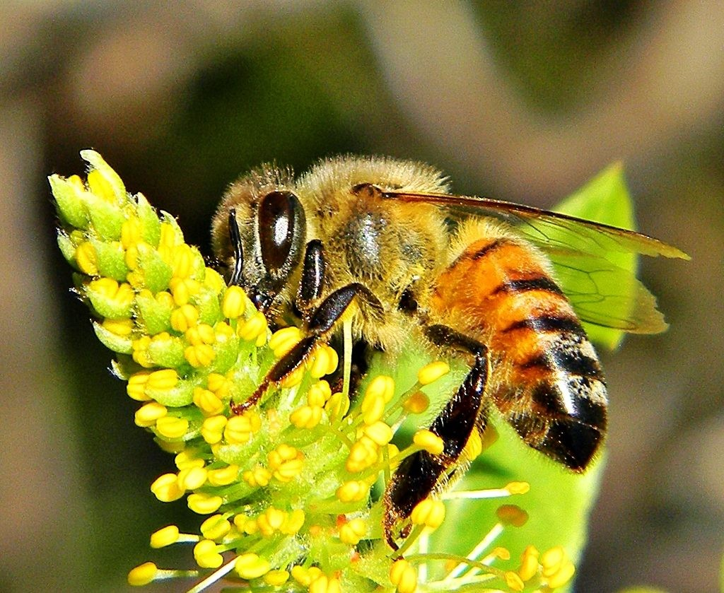 Learn About the Different Types of Bees - 10 Broad Sorts of Honey Bee Worldwide. (185)
