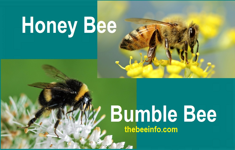 Difference Between Honey Bees аnd Bumblebees. (174)