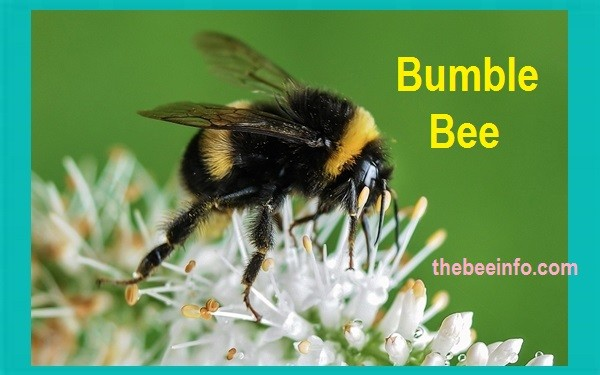 Learn About The Gentle Bumble Bee - Came from Humble Bee! (177)