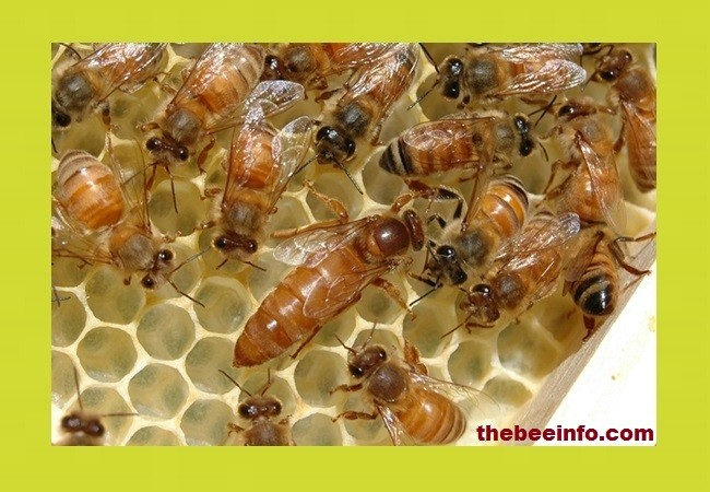 Queen Pheromones and Colony Regulation. (139)