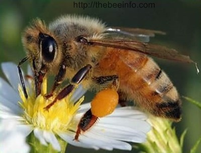 Honey Bee Genome Project - HBGP. (145)