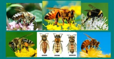 Types Of Honey Bees Based on Gender, Species or Apiary, and Habit Of Stinging.