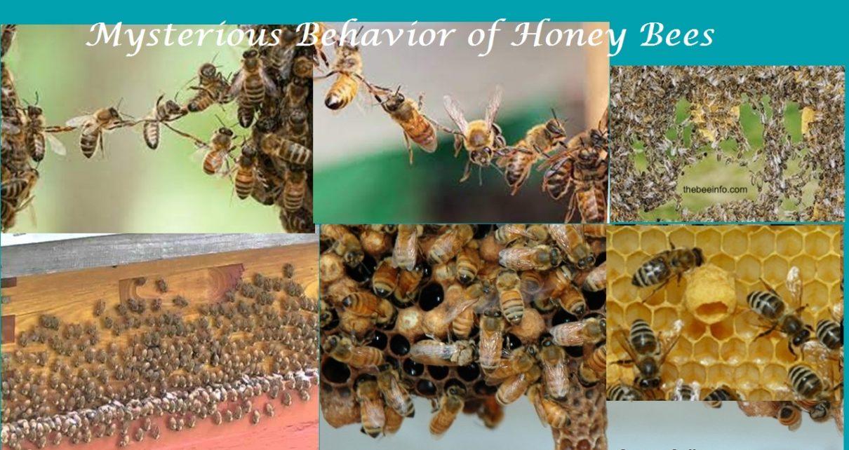 Mysterious Behaviors of Honey Bees: Washboard Behavior and Festooning Behavior.